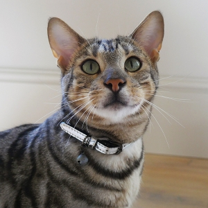 Designer silver cat collar